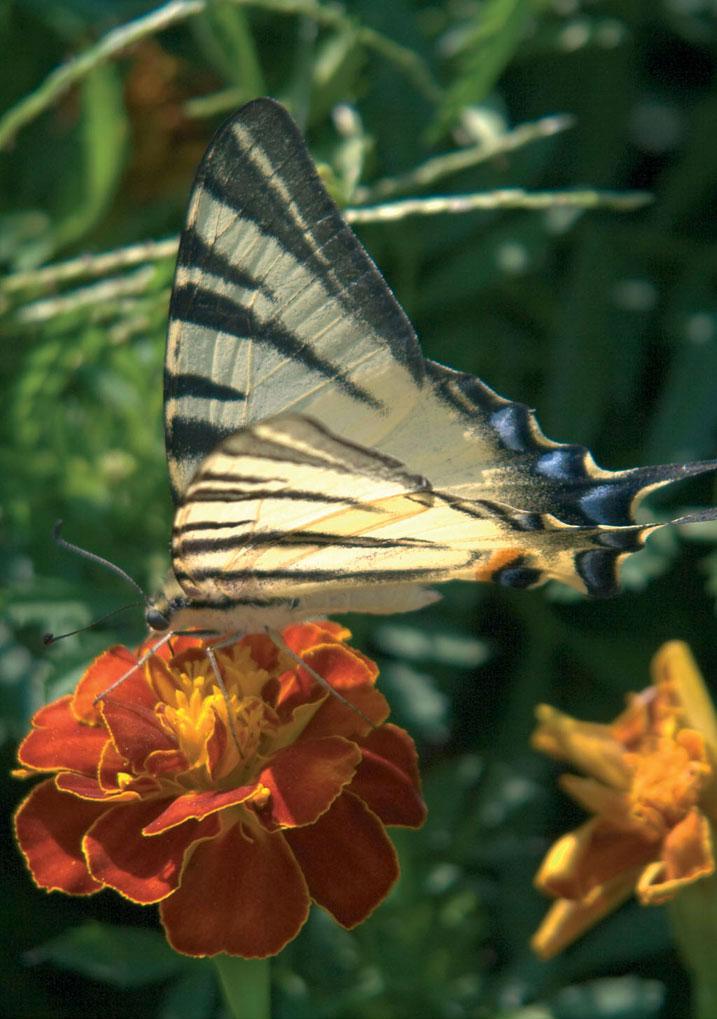 Figura 1: macrofotografia di una farfalla